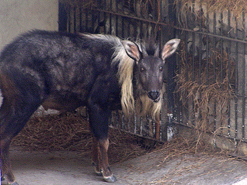 Chinese or mainland serow - Capricornis sumatraensis - in the zoo