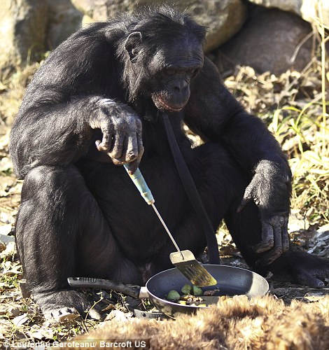 Kanzi - Chimp Bonobo making fire - dinner 2