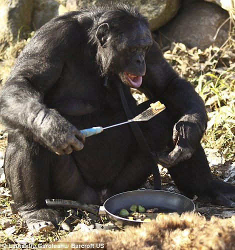 Kanzi - Chimp Bonobo making fire - dinner