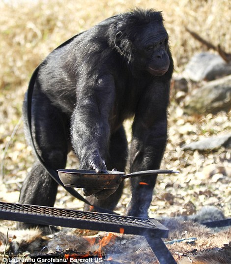 Kanzi - Chimp Bonobo making fire - with pan