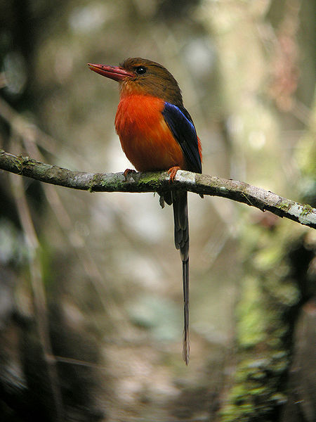 Brown-headed Paradise-kingfisher - New Guinea