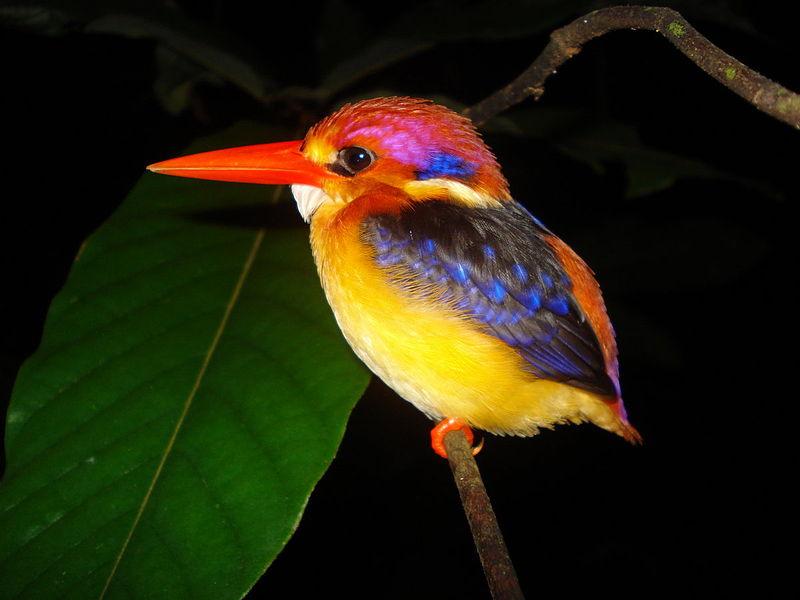 Oriental Dwarf Kingfisher - Thailand