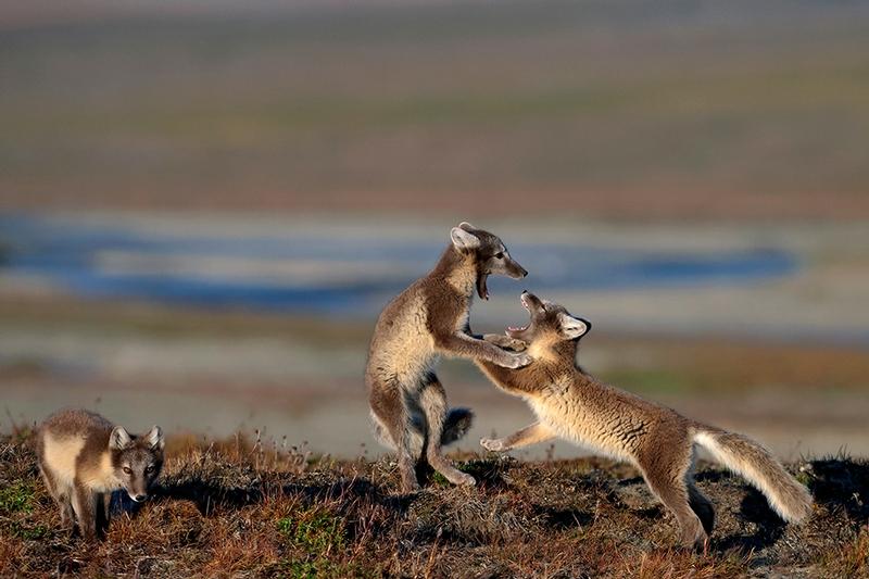 Wrangel Island - Russia - Wildlife Photos - Arctic Fox Cubs