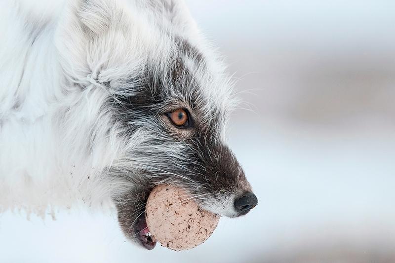 Wrangel Island - Russia - Wildlife Photos - Arctic Fox Egg