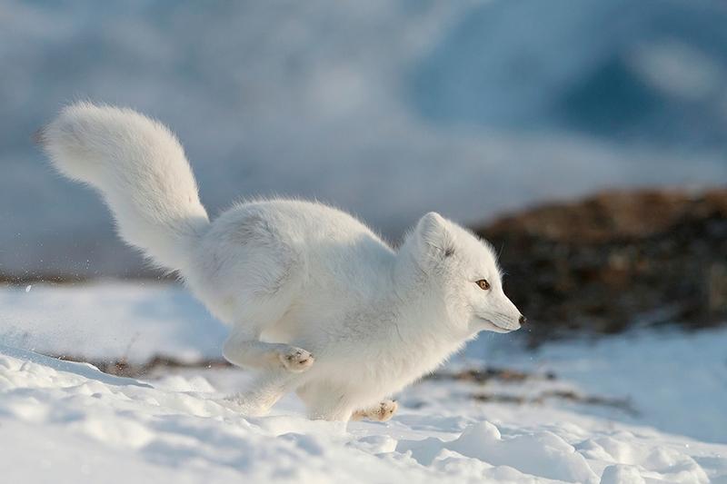 Wrangel Island - Russia - Wildlife Photos - Arctic Fox Hunting