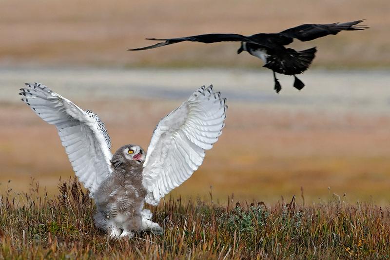 Wrangel Island - Russia - Wildlife Photos - Bird Fight