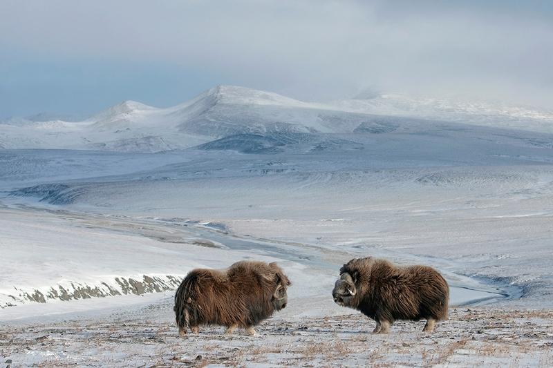 Wrangel Island - Russia - Wildlife Photos - Desolate Musk Ox