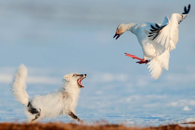 Wrangel Island - Russia - Wildlife Photos - Fox Supper 2