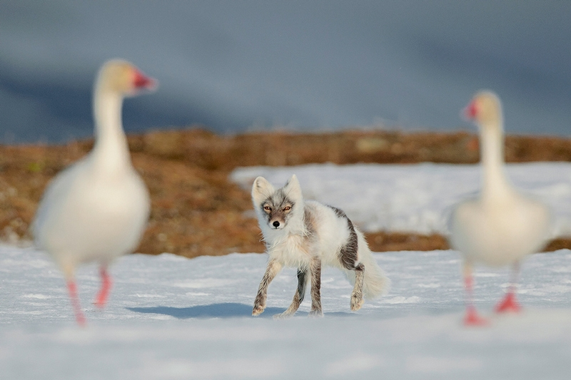 Wrangel Island - Russia - Wildlife Photos - Fox Supper