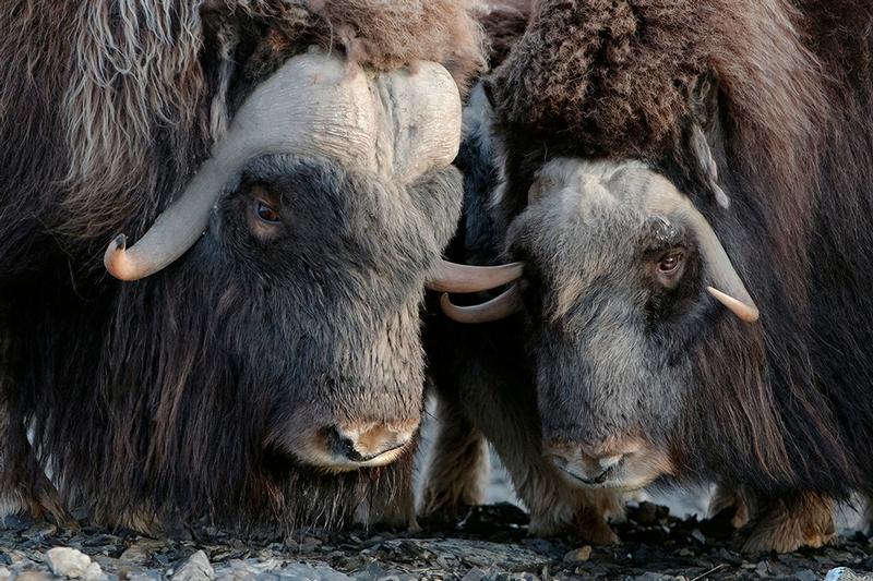Wrangel Island - Russia - Wildlife Photos - Musk Ox