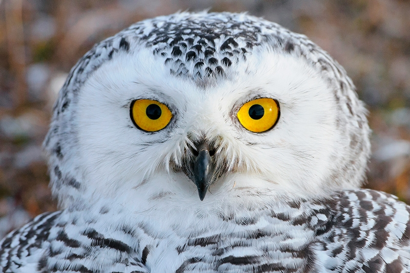 Wrangel Island - Russia - Wildlife Photos - Owl Close Up
