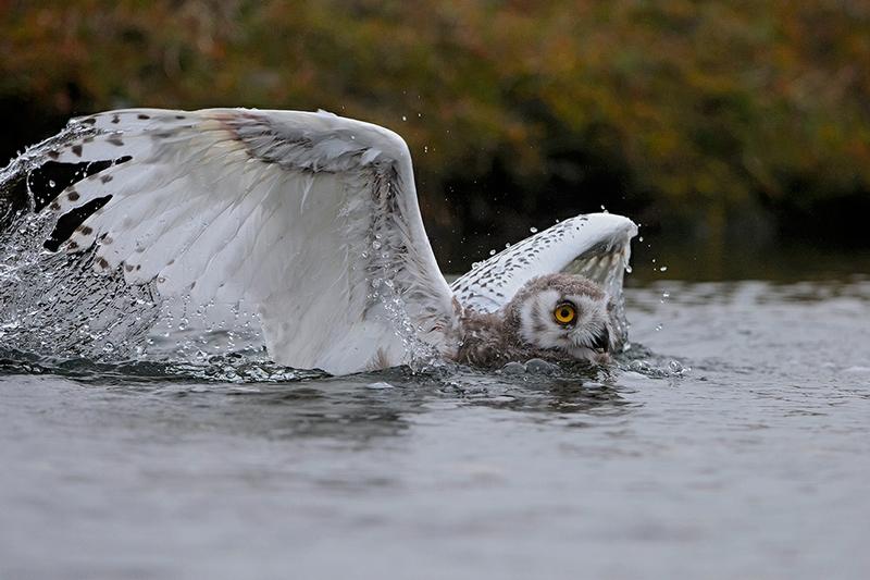 Wrangel Island - Russia - Wildlife Photos - Owl