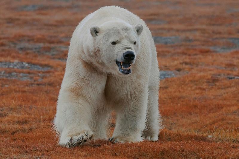 Wrangel Island - Russia - Wildlife Photos - Polar Bear Angry