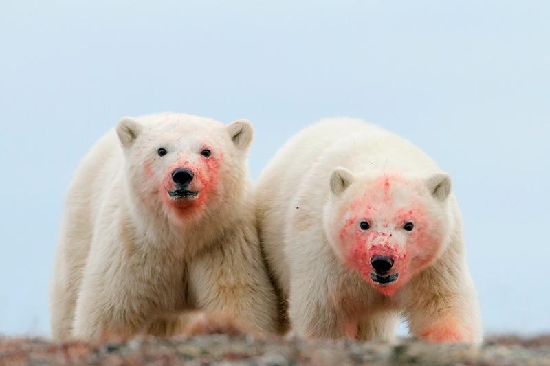 Wrangel Island - Russia - Wildlife Photos - Polar Bears