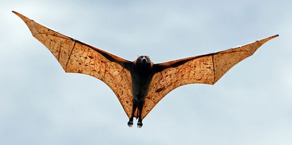 Giant Golden-Crowned Flying Fox - In flight
