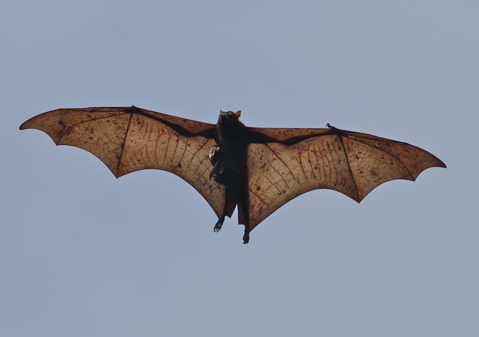 Golden Crowned Flying Fox World's biggest bat: giant golden - crowned ...