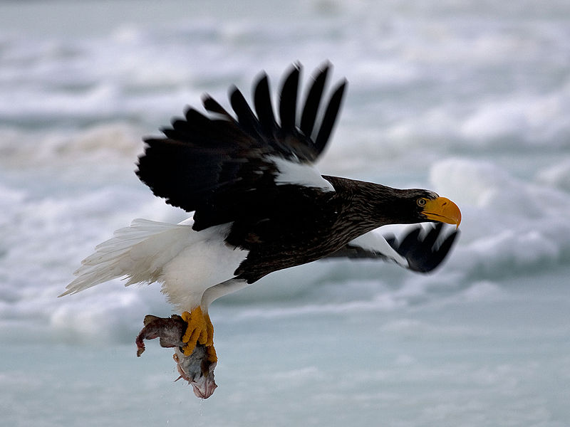 Steller's Sea Eagle - Biggest Eagle - In Flight
