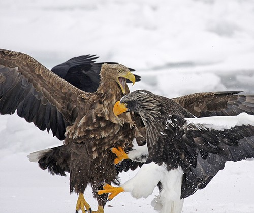 Steller's Sea Eagle - Biggest Eagle - vs White-tailed Eagle