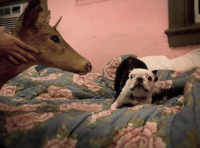 Deer Fights Dog And Cat