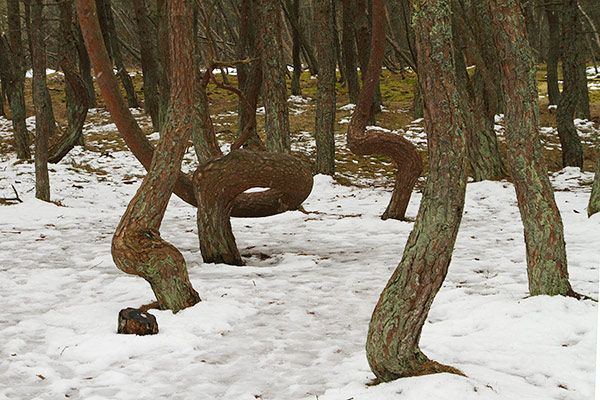 The Dancing Drunk Forest of Kaliningrad - Full Snow Twist